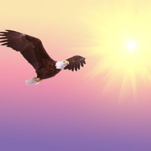 A bald eagle soars in front of a pink sky