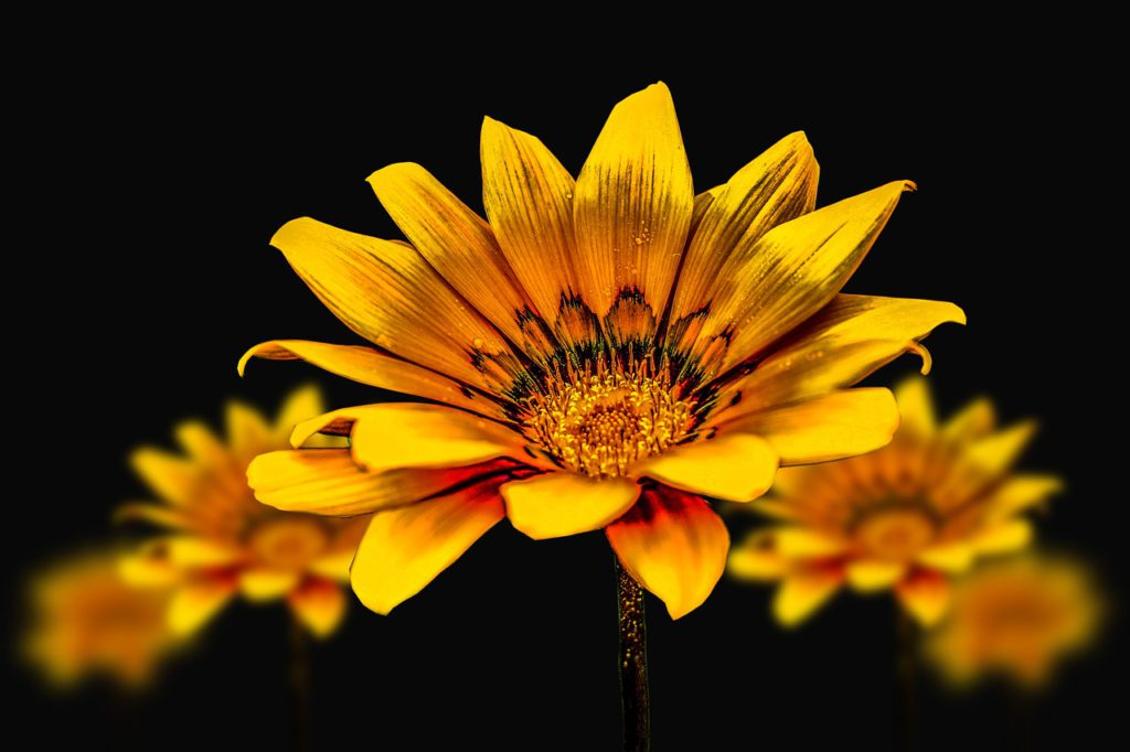 A beautiful bright yellow gerba daisy sits at the forefront with several behind it in front of a black background.